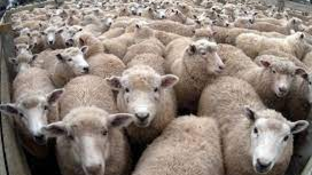 How great are sheep2
