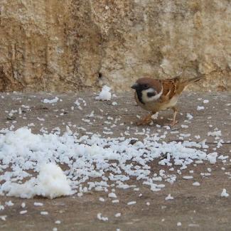 Can birds eat rice